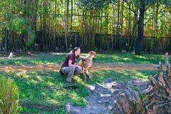 Woman trainer caressing cheetah at Bush Gardens Tampa Bay stock photography