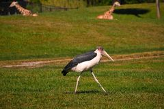Exotic bird walking in meadow Tampa Bay area. In the background we see two giraffes. stock images