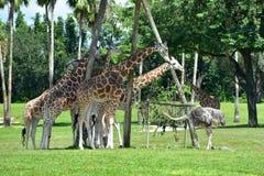 Giraffes eating with Rhea Pennata at Bush Gardens Tampa Bay Theme Park. royalty free stock photos