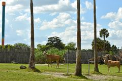 Nyalas in green meadow and palm trees. This is an African antelope that lives in wooded savannas royalty free stock image