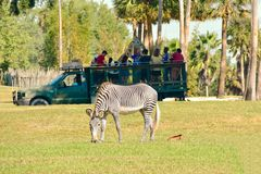Person playing giraffe in Serengeti Safari . In the foreground we see a nice zebra at Bush Garden royalty free stock images