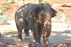Sweet elephant rolls up its trunk at Bush Gardens Tampa Bay stock photo