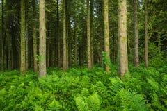 Tampa spicant do Blechnum das samambaias duras o assoalho da floresta da floresta de Woodburn, imagem de stock royalty free