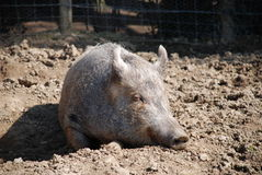 Tamworth pig. A Tamworth (rare breed) and Wild Boar cross pig laying in a muddy pen Royalty Free Stock Photos