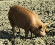 Tamworth pig Royalty Free Stock Image