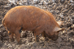 Tamworth pig foraging for food Royalty Free Stock Photo