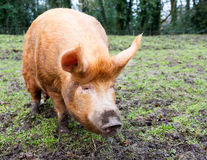 Tamworth svin Arkivbild