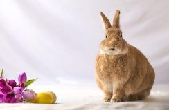 Tan和Rufus色的复活节兔子兔子做滑稽的表示反对在葡萄酒设置的软的背景和郁金香花 库存图片