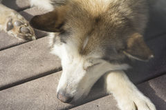 Tan多壳的拉雪橇狗 库存图片