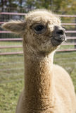 Tan Alpaca Images stock