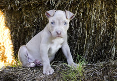 Tan American Pit Bull Puppy with blue eyes. Female Tan American Pitbull bulldog Puppy with blue eyes Royalty Free Stock Photo