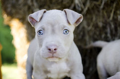 Tan American Pit Bull Puppy with blue eyes. Female Tan American Pitbull bulldog Puppy with blue eyes Stock Image