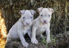 Tan American Pit Bull Puppy con gli occhi azzurri immagini stock libere da diritti