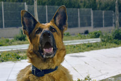 Tan Belgian Malinois Wearing Black Collar Stock Photos