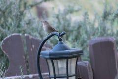 Tan bird Stock Photography