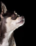 Tan & Black Chihuahua Profile View. Profile view of tan & black chihuahua on black background Royalty Free Stock Images