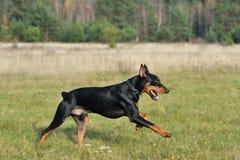 Running German Pinscher. Tan-and-black German Pinscher running on a green field Stock Image
