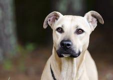 Tan Black Mouth Cur Mastiff blandad avelhund royaltyfria bilder