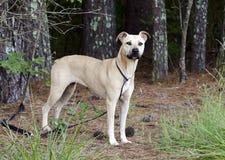 Tan Black Mouth Cur Mastiff misturou o cão da raça imagens de stock