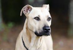 Tan Black Mouth Cur Mastiff mixed breed dog Stock Image