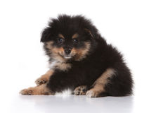 Tan and Black Pomeranian Puppy Looking at the View. Black Pomeranian Puppy Looking at the Viewer On White Background royalty free stock photography