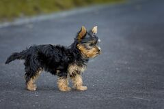 Tan Black Puppy Royalty Free Stock Photography