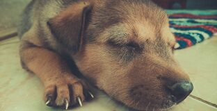 Tan and Black Short Coat Puppy Sleeping on the White Tiles Stock Images