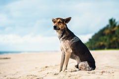 Tan and Black Stray dog at a Beach in Kerala, India.