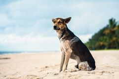 Tan and Black Stray dog at a Beach in Kerala, India. A stray dog at a Beach in Kerala. Stray dog attacks and culling of dogs is a huge concern for the state of Royalty Free Stock Photography