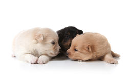 Tan Black and White Colored Pomeranian Puppies Stock Photography