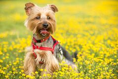 Tan and Black Yorkshire Terrier Royalty Free Stock Photo