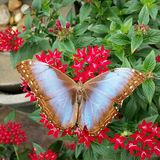 Tan and blue butterfly stock photos