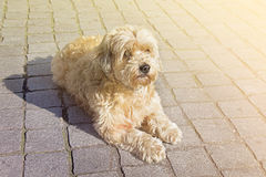 Tan boomer dog outdoors Royalty Free Stock Image