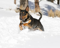 Tan bull terrier running in the snow Royalty Free Stock Photos