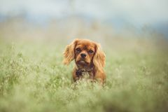 Tan Cavaliers King Charles Spaniel on Grass Field Stock Photography
