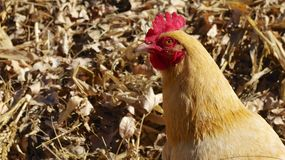 Tan chicken or hen. Royalty Free Stock Image