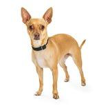 Tan Chihuahua Standing  Stock Photos