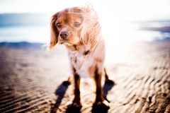 Tan Coated Small Dog Royalty Free Stock Image