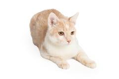 Tan Color Cat Laying Lizenzfreie Stockfotos