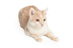 Tan Color Cat Laying Royalty Free Stock Photos
