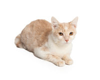 Tan Color Cat Laying Down Stock Photography