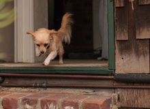 Tan colored Chihuahua puppy jumps out the door. Of a house Royalty Free Stock Images