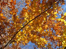 Tan Colored Leaves. Photo of tan colored leaves during autumn in november royalty free stock photos
