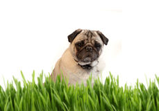 Tan colored pug behind grass Stock Photography