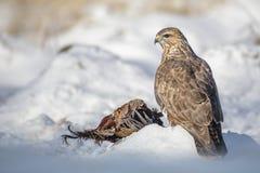 Tan coloured common buzzard in snow Stock Image