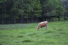 Tan Cow Grazing In Pasture-Landschaft lizenzfreie stockbilder