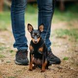 Tan Dog Miniature Pinscher, Zwergpinscher, Min Pin Royalty Free Stock Photo