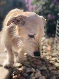 Tan Dog Walking op een Stoep die de Grond bekijken royalty-vrije stock foto