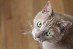 Tan Domestic Cat Royalty Free Stock Photography