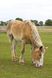 Tan e cavalo branco Imagens de Stock